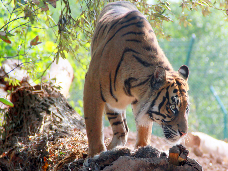 Tiger-Fota-Wildlife-Park-Co.jpg